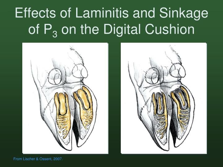 Effects of Laminitis and Sinkage of P