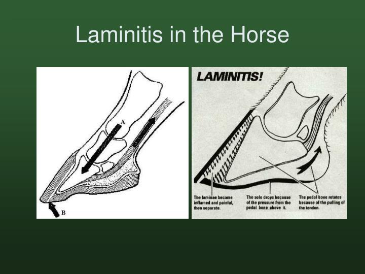 Laminitis in the Horse