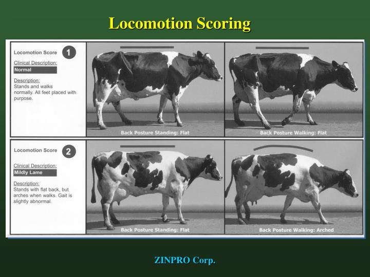 Locomotion Scoring