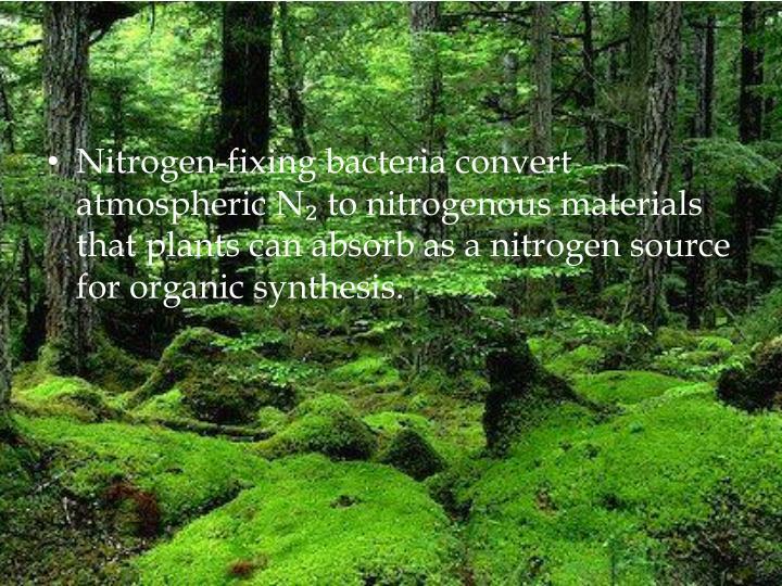 Nitrogen-fixing bacteria convert atmospheric N
