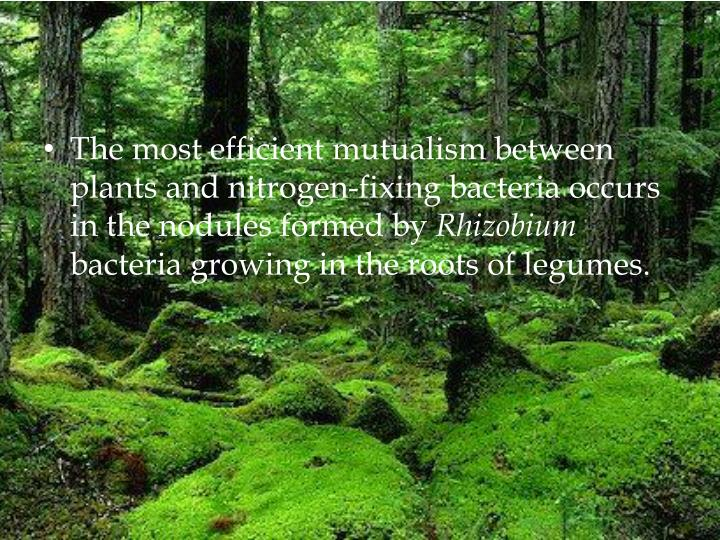 The most efficient mutualism between plants and nitrogen-fixing bacteria occurs in the nodules formed by