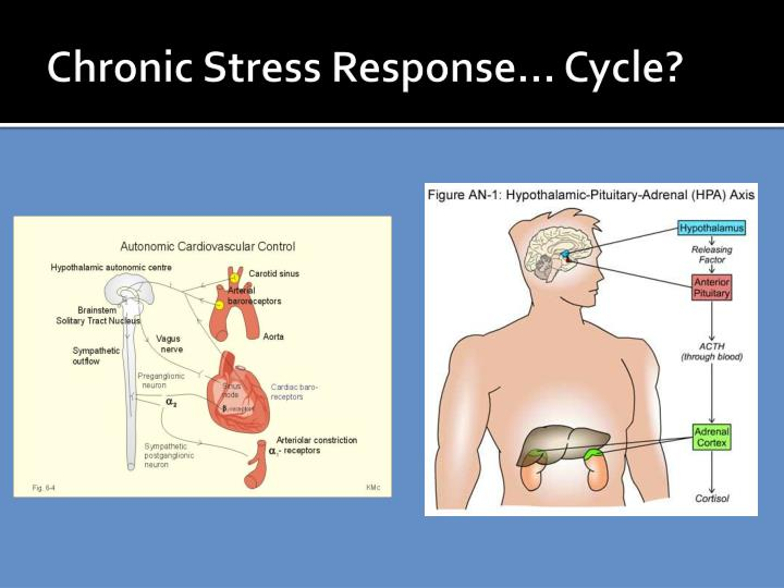 Chronic Stress Response… Cycle?
