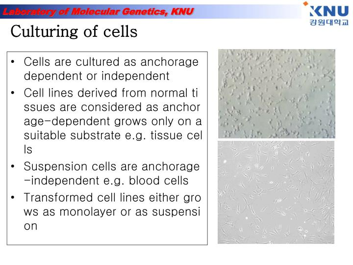 anchorage dependent cell culture Monitoring and modeling density-dependent growth of anchorage sabre kais, an agent-based model approach to multi-phase life-cycle for contact inhibited, anchorage dependent cells properties by observing individual cell behaviors in anchorage-dependent culture, biochemical engineering.