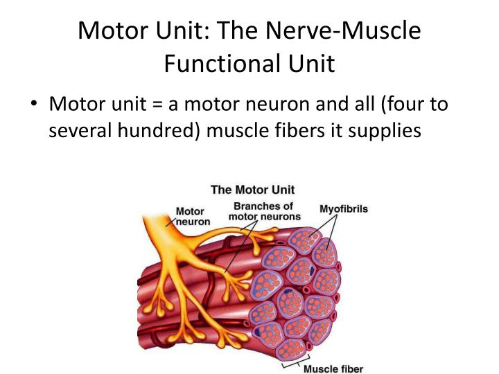 Motor Unit: The Nerve-Muscle Functional Unit