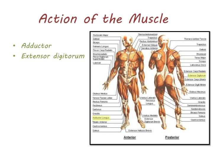 Action of the Muscle