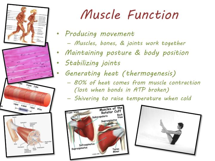 Muscle Function