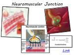 neuromuscular junction1