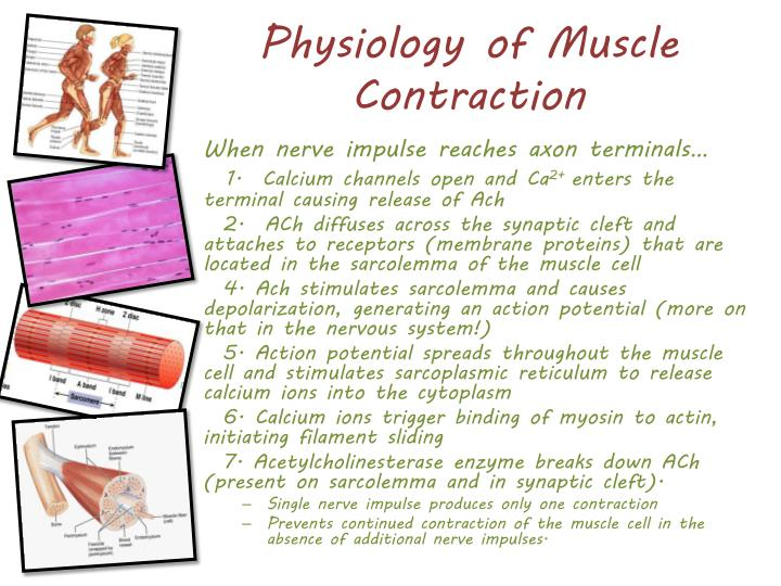 Physiology of Muscle Contraction