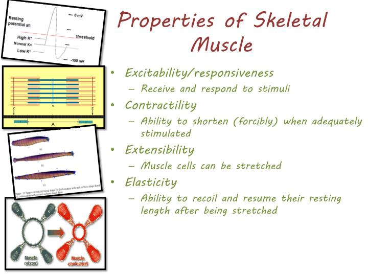 Properties of Skeletal Muscle