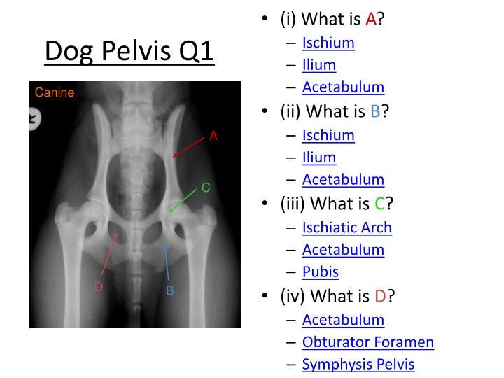Dog Pelvis Q1