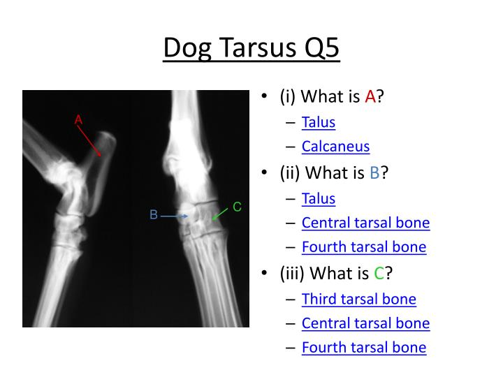 Dog Tarsus Q5