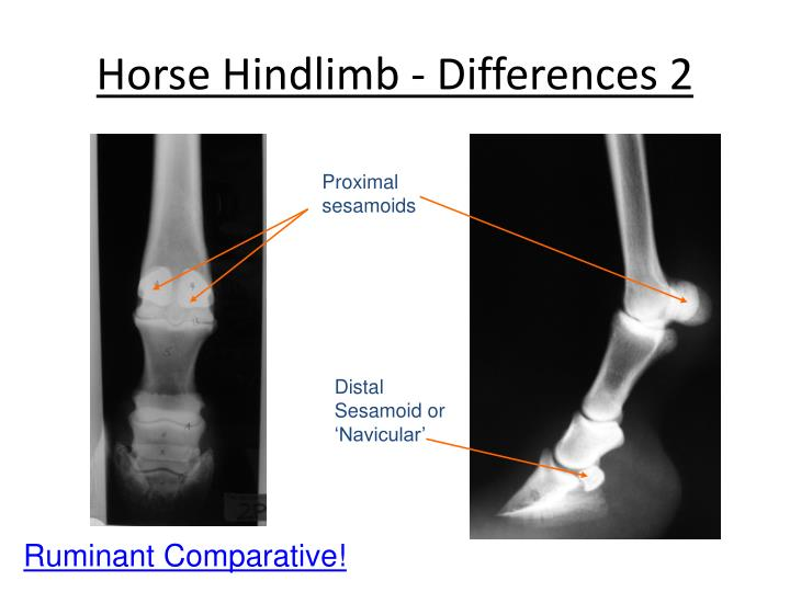 Horse Hindlimb - Differences 2