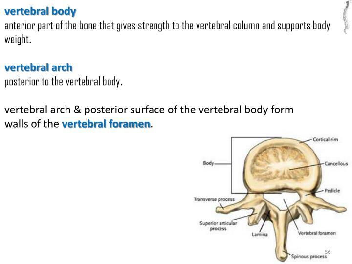 vertebral