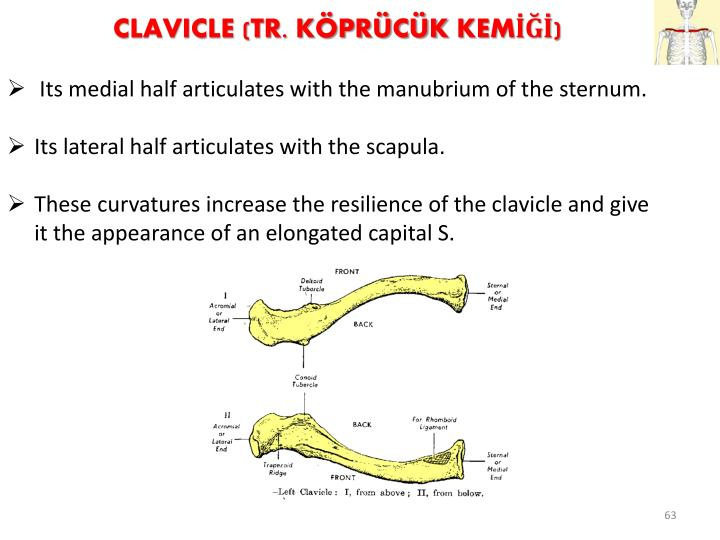 Clavicle (Tr.