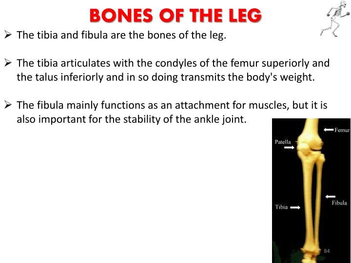 Bones of the Leg