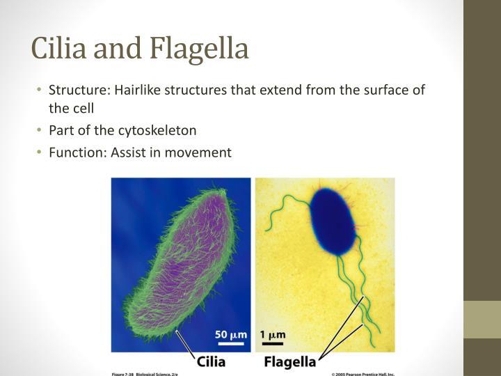 Cilia and Flagella