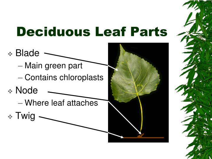 Deciduous Leaf Parts