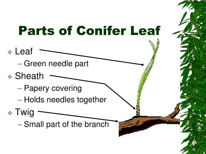 Parts of Conifer Leaf
