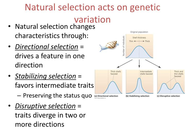 Natural selection acts on genetic variation