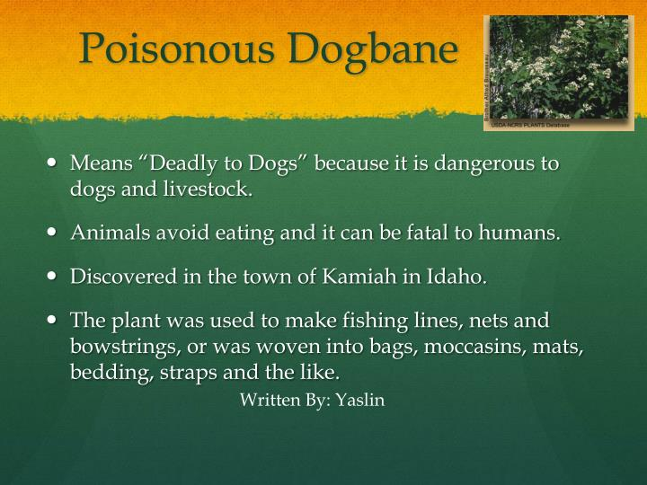 Poisonous Dogbane