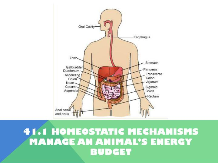41.1 Homeostatic Mechanisms manage an animal's energy budget