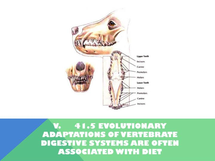 V.41.5 Evolutionary adaptations of vertebrate digestive systems are often associated with diet