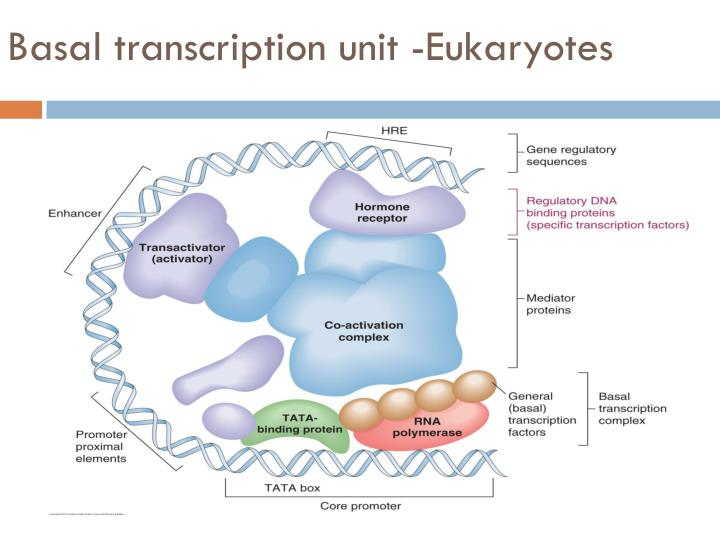 Basal transcription unit -Eukaryotes