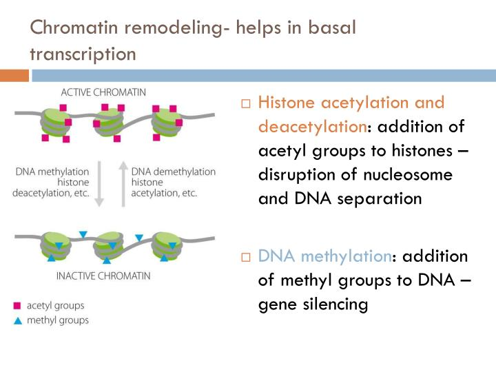 Chromatin remodeling- helps in basal transcription
