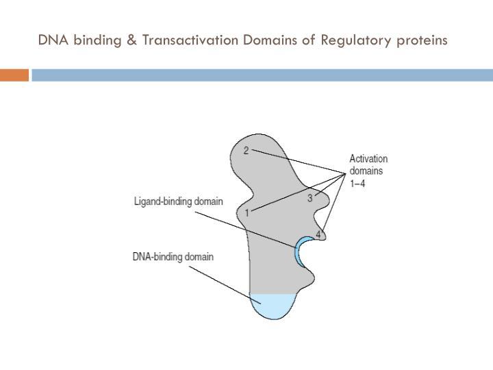 DNA binding &