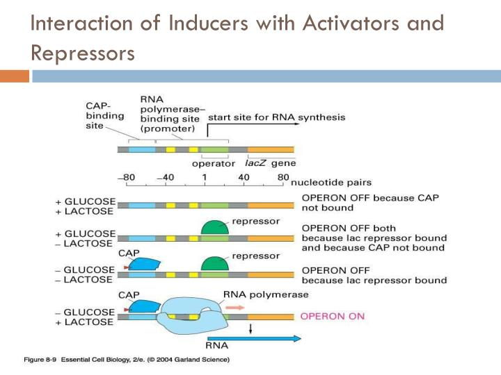 Interaction of Inducers with Activators and Repressors