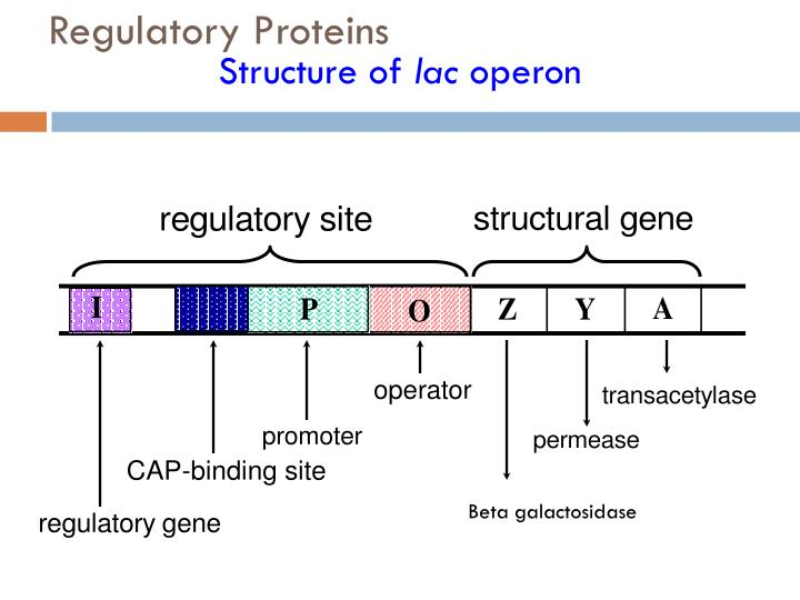 Regulatory Proteins