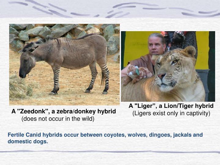 """A """"Liger"""", a Lion/Tiger hybrid"""