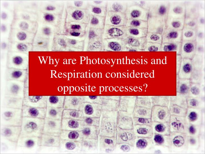 Why are Photosynthesis and Respiration considered opposite processes?