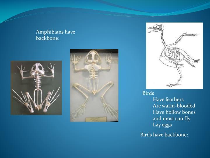 Amphibians have backbone: