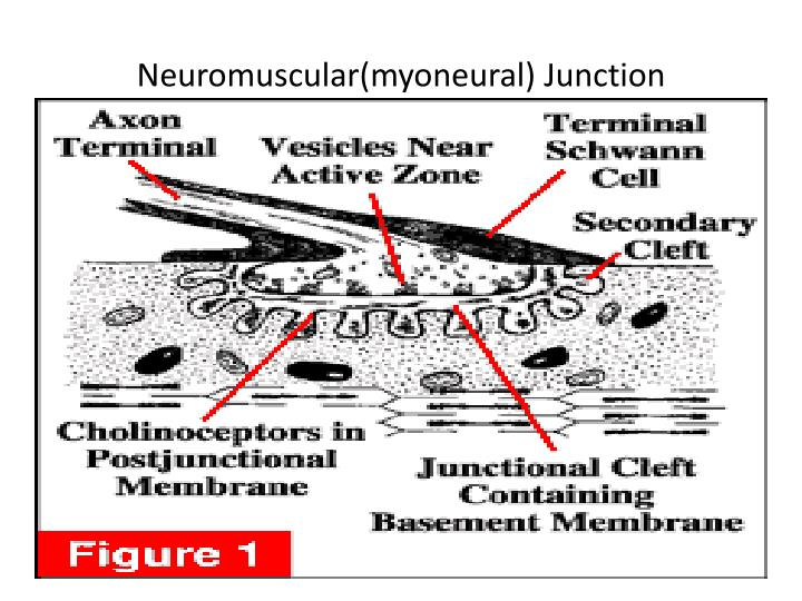 Neuromuscular(myoneural) Junction