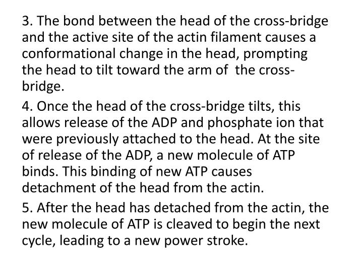 3. The bond between the head of the cross-bridge and the active site of the actin filament causes a conformational change in the head, prompting the head to tilt toward the arm of  the cross-bridge.