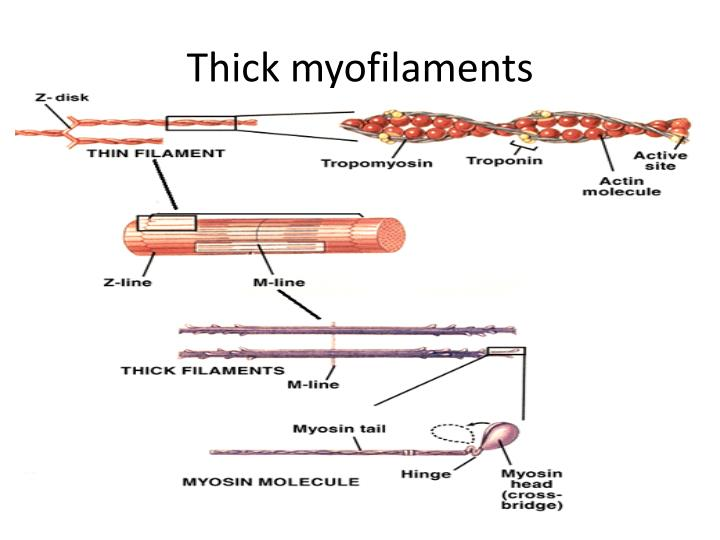 Thick myofilaments
