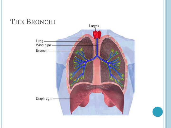 The Bronchi