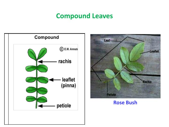 Compound Leaves