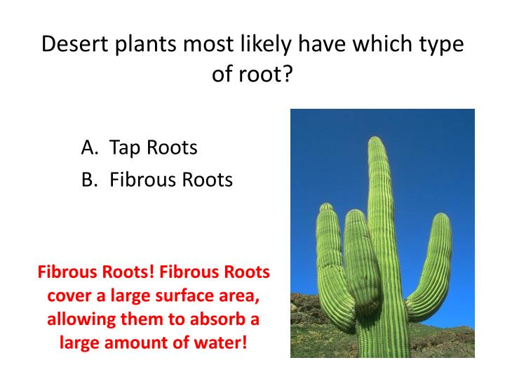 Desert plants most likely have which type of root?