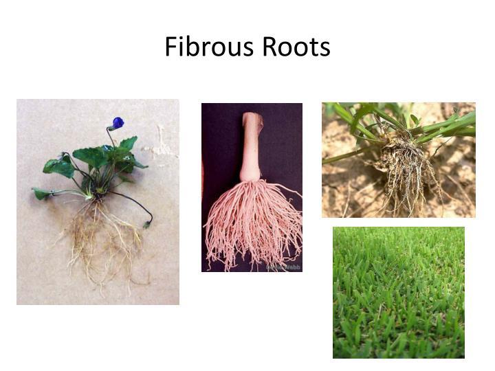Fibrous Roots