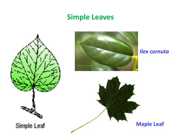 Simple Leaves