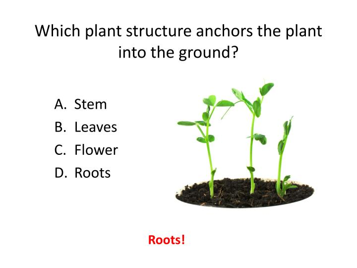 Which plant structure anchors the plant into the ground?