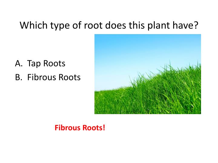 Which type of root does this plant have?