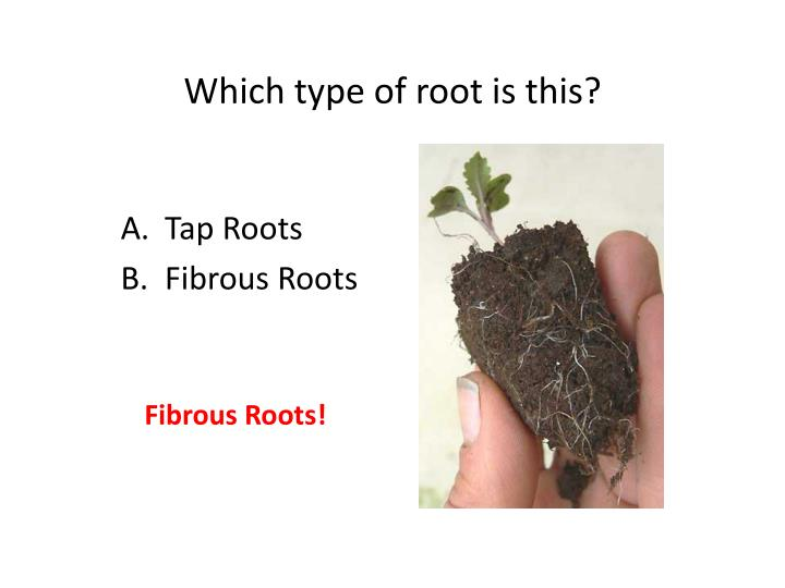 Which type of root is this?