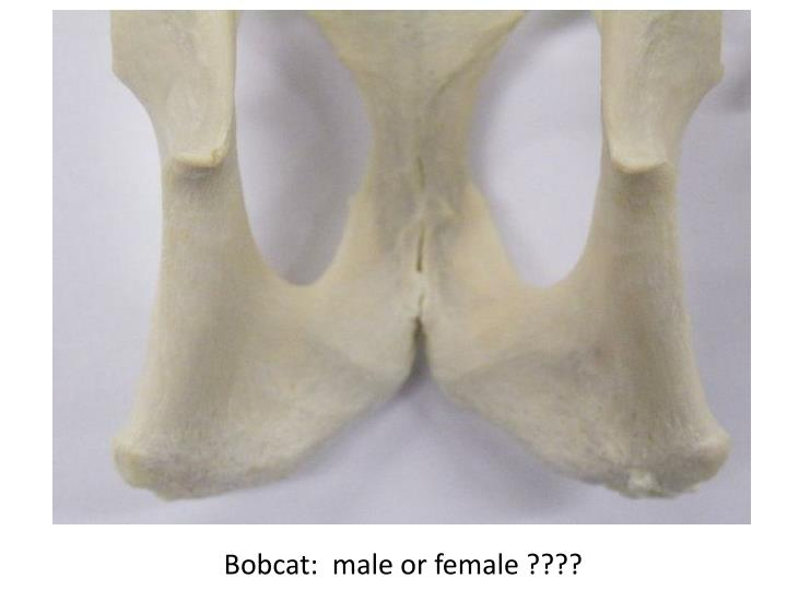 Bobcat:  male or female ????