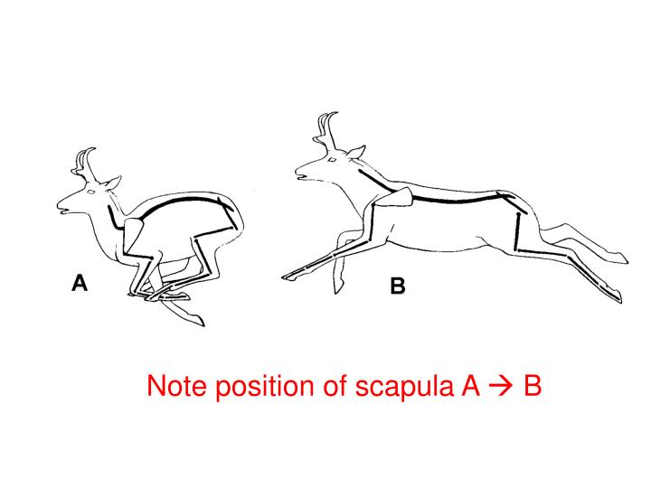 Note position of scapula A
