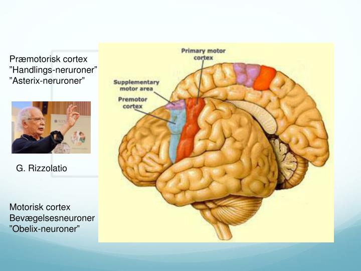 Præmotorisk cortex