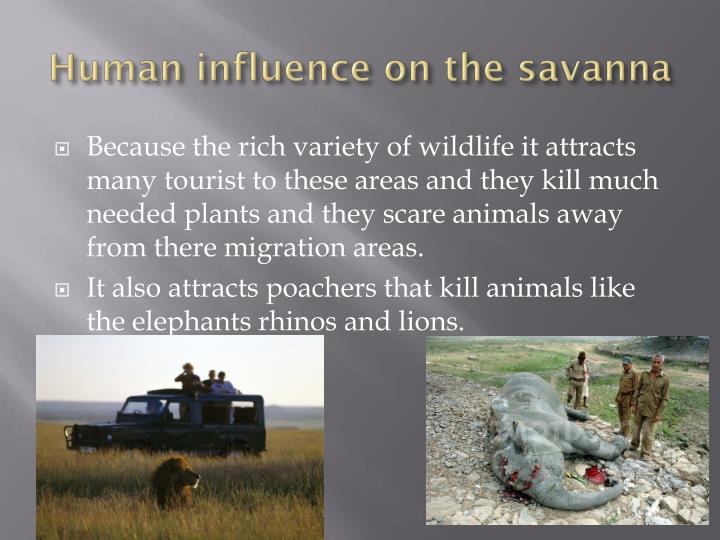 Human influence on the savanna