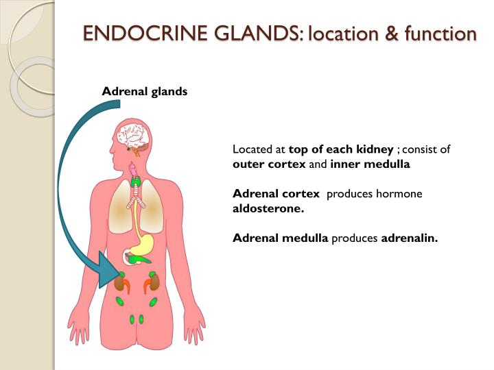 ENDOCRINE GLANDS: location & function